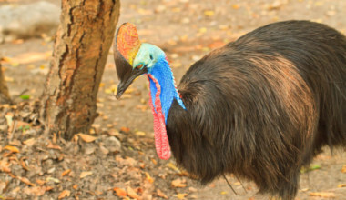 Cassowary on deadliest animals