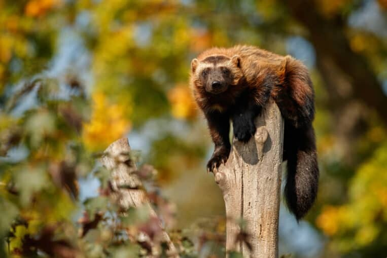 Wolverine on tree trunk