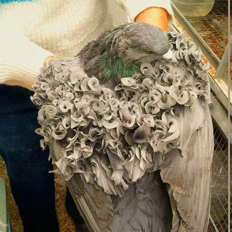 Frillback Pigeon with glorious hairstyles gifted by nature