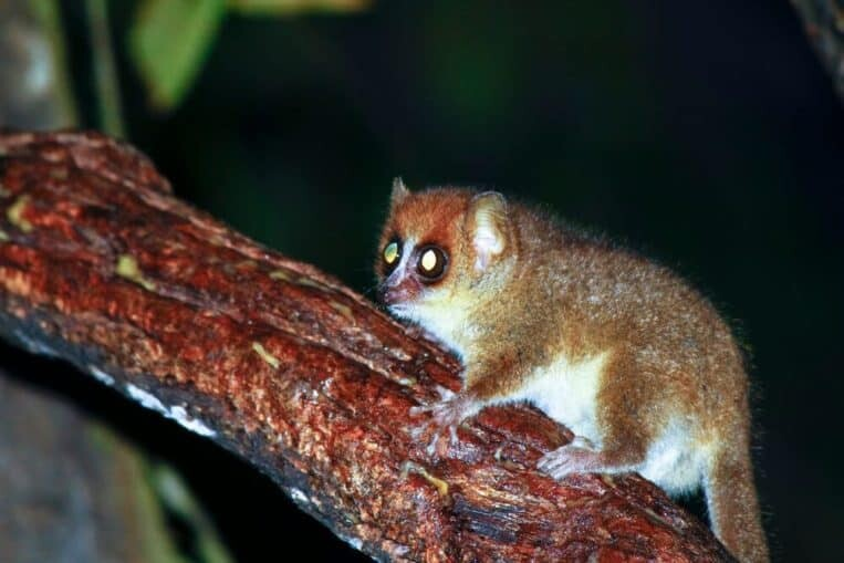 Mouse lemur is a rare and beautiful animal