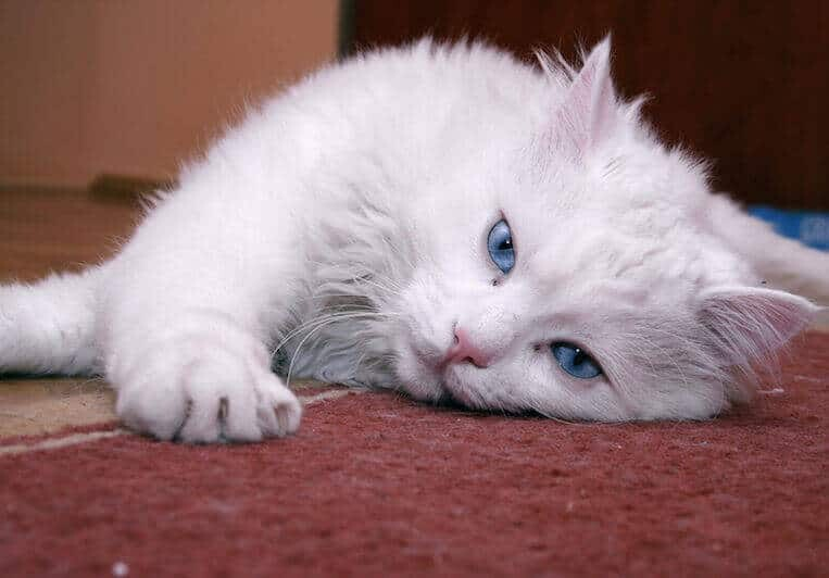 Snowball the cat