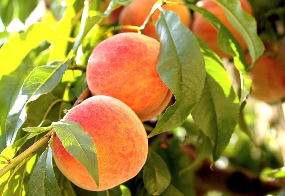10 Considerations before planting fruit trees