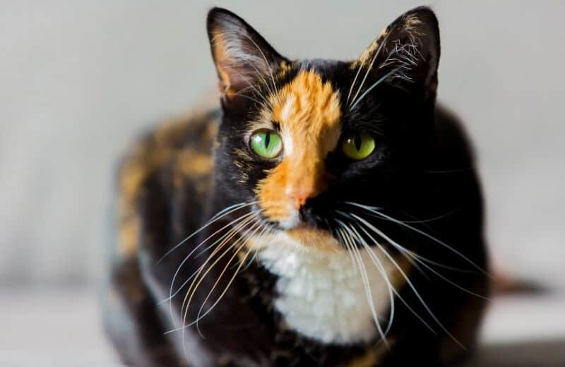 Calico Cat Health Problems