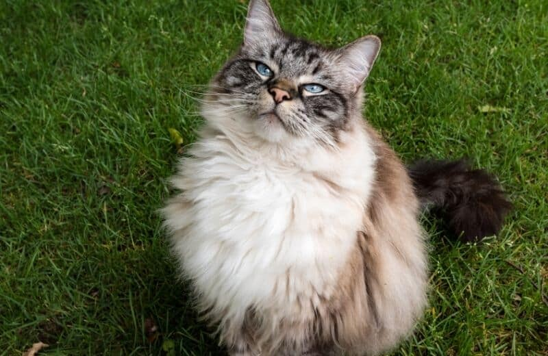 Ragdoll Cat Health Problems