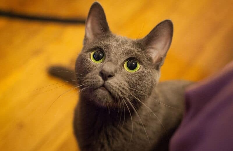 Russian Blue Cat Health Problems