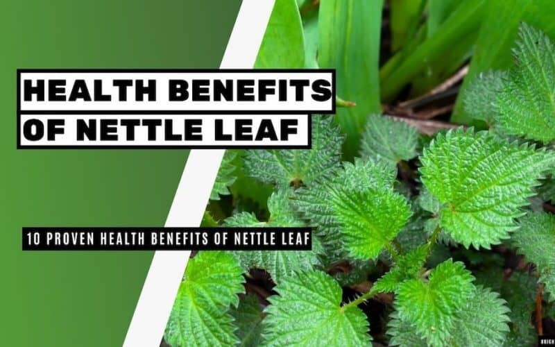 10 Proven Health Benefits of Nettle Leaf