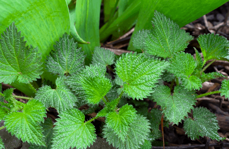 Background of Nettle Leaf